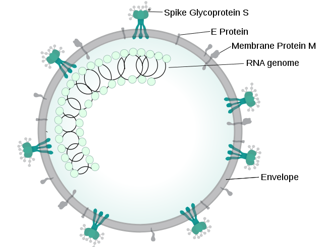 Illustration of SARSr-CoV virion
